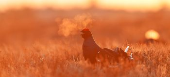 Black Grouse at sunrise Royalty Free Stock Images