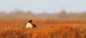 Black Grouse tail Stock Photography