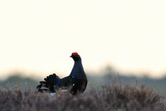Black Grouse (Tetrao tetrix) in April morning Stock Images
