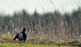 Black grouse (Tetrao tetrix) Stock Photos