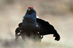 Black grouse (Tetrao tetrix), blackgame (Lyrurus tetrix Royalty Free Stock Image