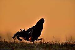 Black grouse (Tetrao tetrix). Close up Portrait of a lekking black grouse Stock Photos