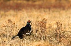 Black grouse - Tetrao tetrix - lek in Norway Stock Photo