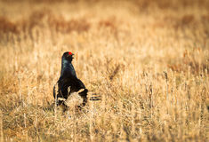 Black grouse - Tetrao tetrix - lek in Norway Royalty Free Stock Images