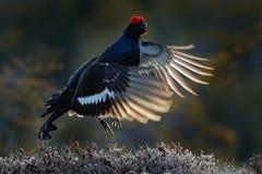 Black Grouse, Tetrao tetrix, lekking nice black bird in marshland, red cap head, animal in the nature forest habitat, Sweden. Blac Stock Photo