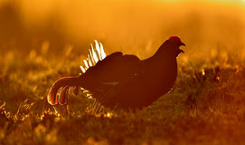 Black grouse (Tetrao tetrix), (Lyrurus tetrix). Royalty Free Stock Image