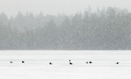 Black grouse. (Tetrao tetrix) males display on lake ice in heavy snowfall Royalty Free Stock Photography