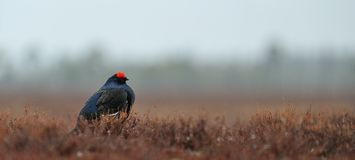Black Grouse (Tetrao tetrix) in the rain Stock Images