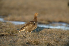 Black grouse, Tetrao tetrix, Stock Photos