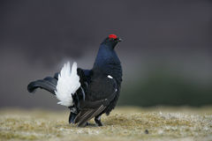 Black grouse, Tetrao tetrix Royalty Free Stock Photos