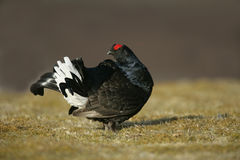 Black grouse, Tetrao tetrix Stock Image
