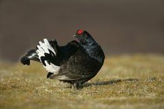 Black grouse, Tetrao tetrix Stock Image