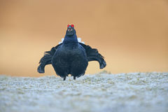 Black grouse, Tetrao tetrix Stock Photography