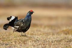 Black grouse, Tetrao tetrix Stock Photo