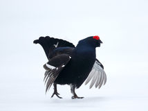 Black grouse, Tetrao tetrix Stock Images