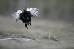 Black grouse, Tetrao tetrix, Stock Image