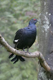 Black grouse, Tetrao tetrix Stock Photo