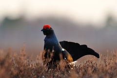 Black Grouse (Tetrao tetrix) in spring Royalty Free Stock Photography