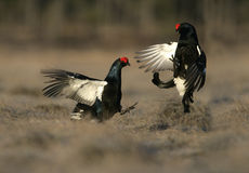 Black grouse, Tetrao tetrix, Royalty Free Stock Image