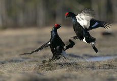 Black grouse, Tetrao tetrix, Royalty Free Stock Photos