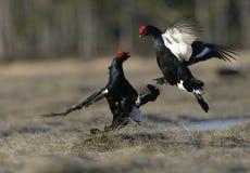 Black grouse, Tetrao tetrix, Royalty Free Stock Photos