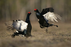 Black grouse, Tetrao tetrix, Stock Image