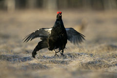 Black grouse, Tetrao tetrix, Stock Photography