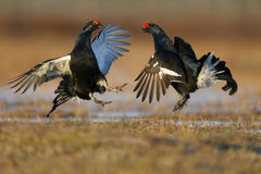 Black grouse, Tetrao tetrix Royalty Free Stock Photography