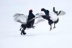 Black grouse, Tetrao tetrix Royalty Free Stock Images