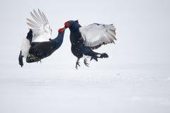 Black grouse, Tetrao tetrix Royalty Free Stock Photos