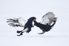 Black grouse, Tetrao tetrix Royalty Free Stock Photography