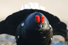 Black grouse towards to you Stock Photography