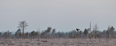 Black Grouse on the tree early in the morning Stock Photos