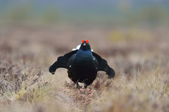 Black grouse walking Royalty Free Stock Image