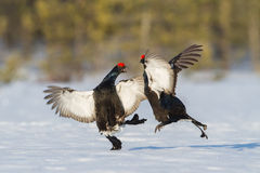 Black Grouses fighting at the lek Royalty Free Stock Photo