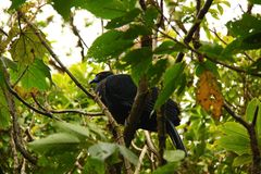 The black guan (Chamaepetes unicolor) Stock Photo