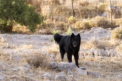 A black guard dog in the farm in the island of Patmos, Greece.  stock photos