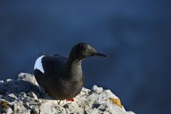 Black guillemot - Arctic bird Royalty Free Stock Photo