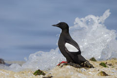 Black guillemot, Cepphus grylle Royalty Free Stock Images