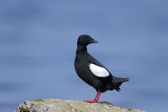 Black guillemot, Cepphus grylle Royalty Free Stock Image