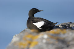 Black Guillemot Royalty Free Stock Images