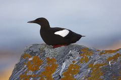 Black Guillemot Stock Photo