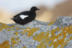 Black Guillemot Royalty Free Stock Photography