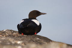 Black Guillemot Stock Photography
