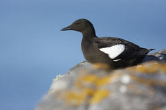 Black Guillemot Royalty Free Stock Photo
