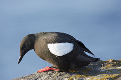 Black Guillemot Stock Image