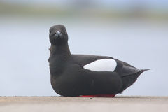 Black guillemot on wall, Oban, Scotland Stock Image