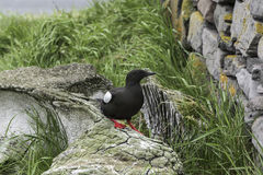 Black Guillemot Stock Images