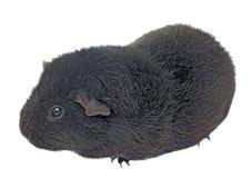 Black guinea pig Royalty Free Stock Photos