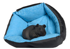 Black guinea pig, 3 months old Royalty Free Stock Photos